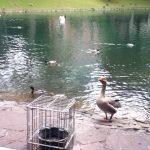 DüsseldorfのHofgartenにいる鴨